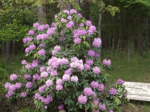 Rhododendrum in full color